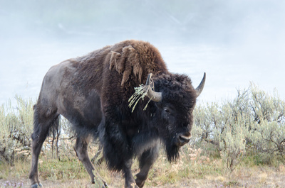 A Bison emerges from the mist